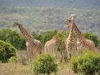 Arusha-giraffes