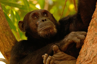 Chimpanzee at Gombe