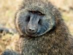 selous-baboon