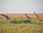 giraffes-serengeti