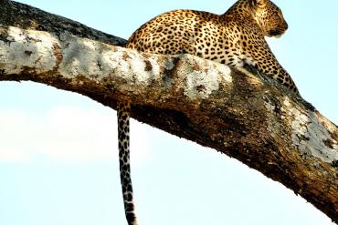 Leopard peeping