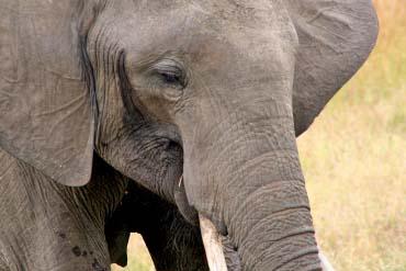Mikumi Elefant