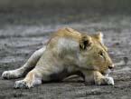 Fotolia_56633633_XL-Ruaha-Lion