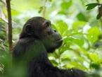 mahale-chimp