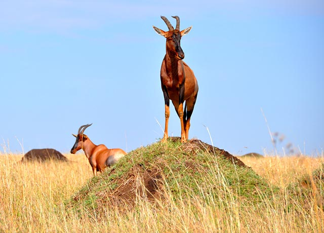 Gazelles-5
