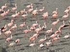 Arusha-flamingoes