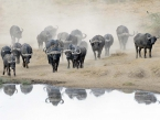 waterhole-buffalos