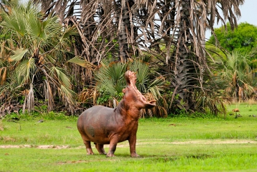 Flusspferd im Katavi Nationalpark