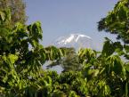 kili-view-through-leaves