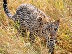 Baby_Leopard_1