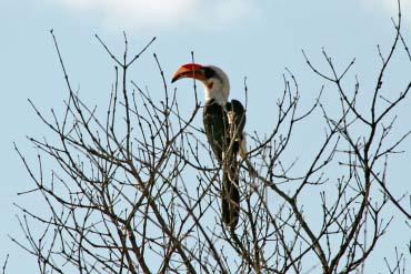Hornbill Mkomazi