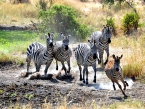 Zebra_stamped