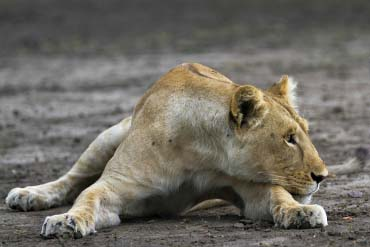 Lioness in Ruaha