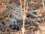 hyena-thing
