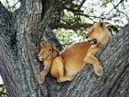Löwin mit Baby im Baum
