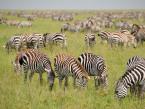 zebras-migration