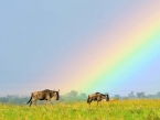 Wildebeest under rainbow