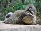 taste-of-Tanzania-baboon-(1-of-1)