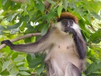 Udzungwa_red-colobus_hanzo-photo