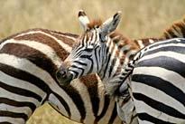 Tansania klassisch Lodge Safari
