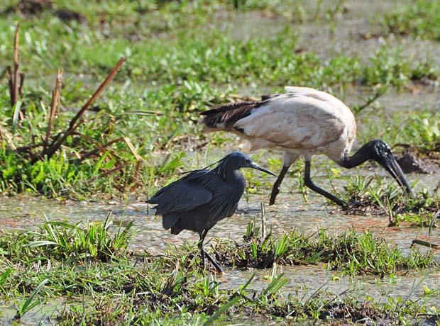 black-heron2