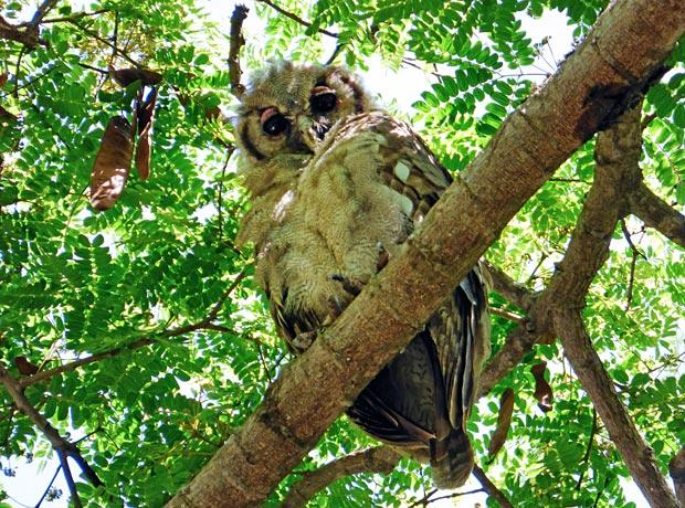 Eagle-owl-3