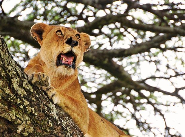 Tree-Lions-3