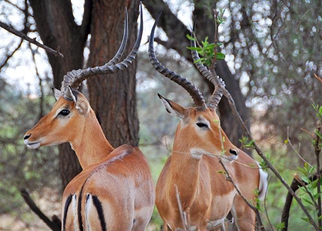 gazelles-4