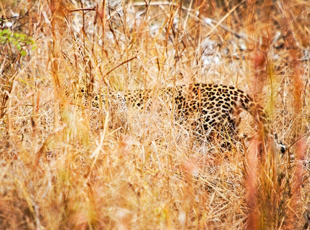 leopard-cubs-selous-5