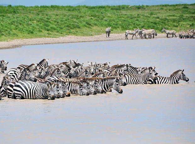 Zebras-watering-hole-2