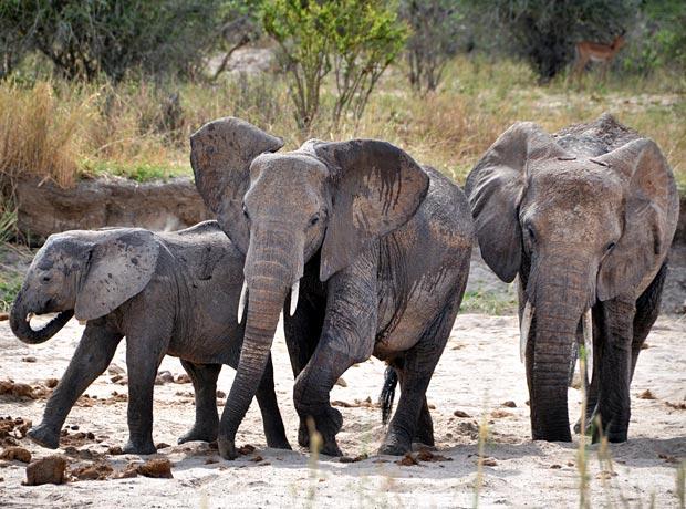Tansania Wo Safari machen Elefanten