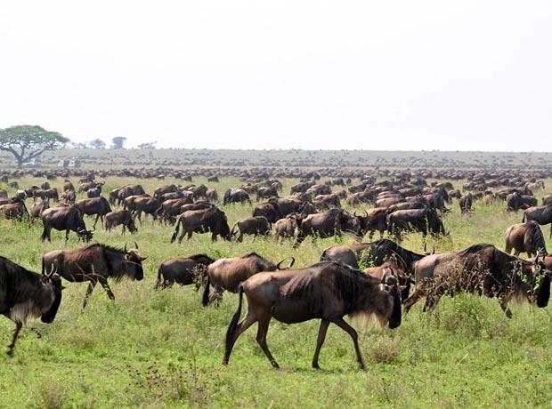 Serengeti migration Tansania