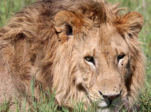 Ein Löwe in der Wildnis