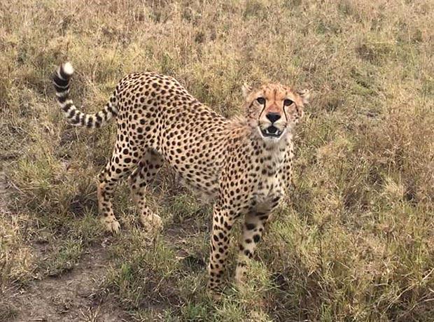 Ein Gepard auf einer Pirschfahrt