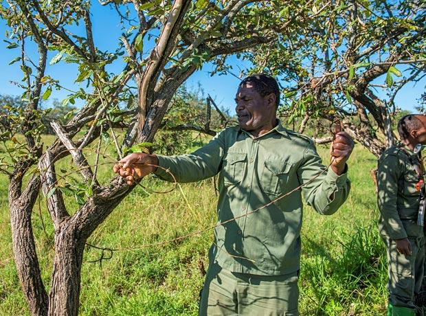 Anti-poacher removes wire snares