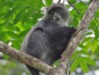 Arusha-monkeyt