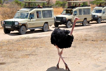 Land Cruiser and Ostrich