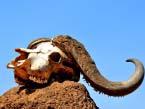 Buff_Skull