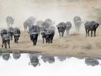 waterhole-buffalos