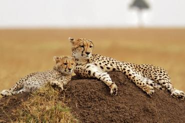 Cheetahs on termite hill