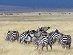 Zebras_Kd.jpg