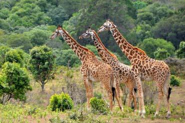 Lake Manyara - Giraffes
