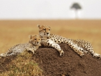 Cheetahs on the Masai Mara in Southwestern Kenya