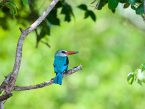 colorful kingfisher on a branch - national park saadani