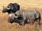 luxury-safari-buffalo