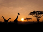 Setting sun with silhouettes of Giraffes on Safari