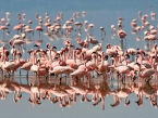 Flamingos on Lake Nakuru