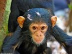 KungweChimps6