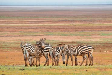 Zebras on Lake Manyara shore
