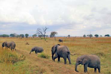 Elepants - Mikumi National Park